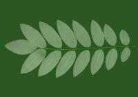 Honey Locust Leaf Texture 15