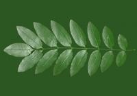 Honey Locust Leaf Texture 16