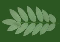 Honey Locust Leaf Texture 17