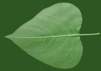 Lilac Leaf Texture Bottom 02