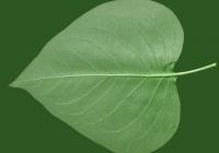 Lilac Leaf Texture Bottom 03