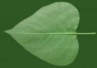 Lilac Leaf Texture Bottom 04