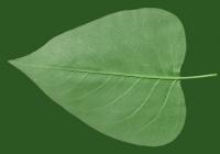 Lilac Leaf Texture Bottom 05