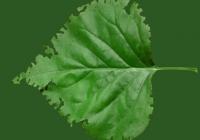 Lilac leaf texture