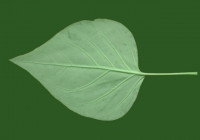 Lilac Leaf Texture Bottom