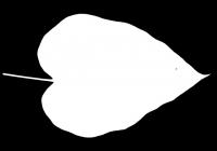 Catalpa tree leaf texture