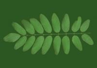 Free Black Locust Tree Leaf Texture 02