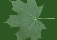 Free Maple Tree Leaf Texture