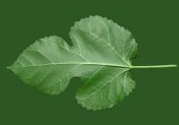 Mulberry Tree Leaf Texture