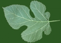 Mulberry Tree Leaf Texture Map