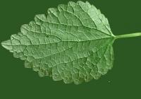 Nettle Leaf Texture