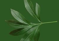 Free Pion Leaf Texture 01