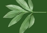 Free Pion Leaf Texture Backside 02