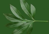 Free Pion Leaf Texture 03