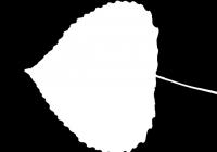 Poplar Tree Leaf Texture Mask 01