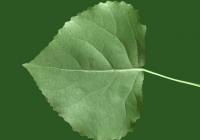Poplar Tree Leaf Texture 01
