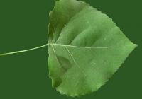 Poplar Tree Leaf Texture 02
