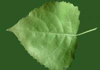 Poplar Tree Leaf Texture 04