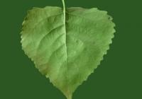 Poplar Tree Leaf Texture 05