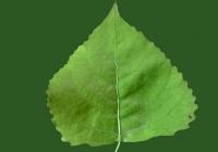 Poplar Tree Leaf Texture 06