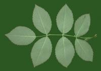 Rose Leaf Texture 01