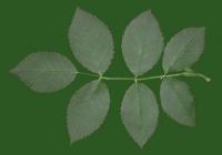 Rose Leaf Texture 02