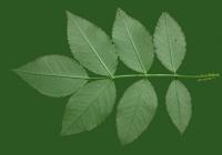 Rose Leaf Texture 03