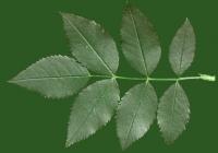 Rose Leaf Texture 04