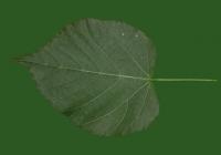 Tilia Tree Leaf Texture