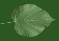 Free Teil Tree Leaf Texture