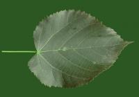 Free Tilia Tree Leaf Texture