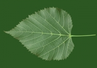 Linden Tree Leaf Texture