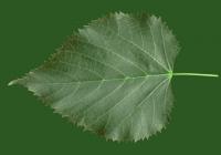 Teil Tree Leaf Texture