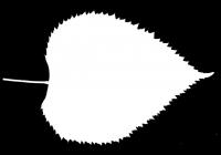 Tilia Tree Leaf Opacity Mask Texture