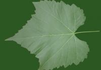 Grape Vine Leaf Texture 01