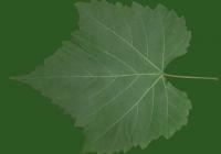 Grape Vine Leaf Texture 02
