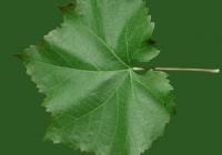 Grape Vine Leaf Texture 03