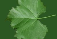 Grape Vine Leaf Texture 04