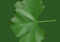 Grape Vine Leaf Texture 05