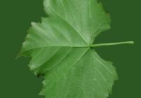 Grape Vine Leaf Texture 06
