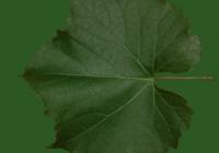 Grape Vine Leaf Texture 08