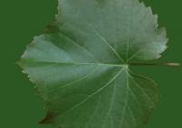 Grape Vine Leaf Texture 09