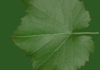Grape Vine Leaf Texture 10