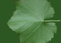Grape Vine Leaf Texture 11