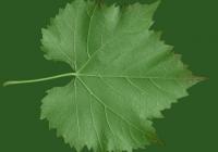 Grape Vine Leaf Texture 12