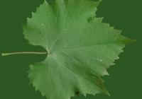 Grape Vine Leaf Texture 13