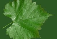 Grape Vine Leaf Texture 14