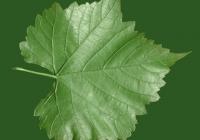 Grape Vine Leaf Texture 15