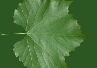 Grape Vine Leaf Texture 16