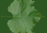 Grape Vine Leaf Texture 17